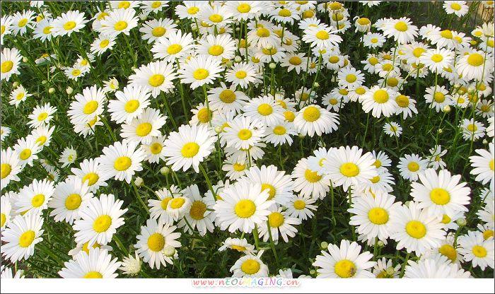 手绘水粉雏菊图片