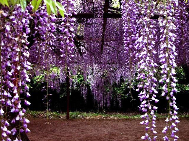 那一帘紫藤    - 蝴蝶 - 蝴蝶