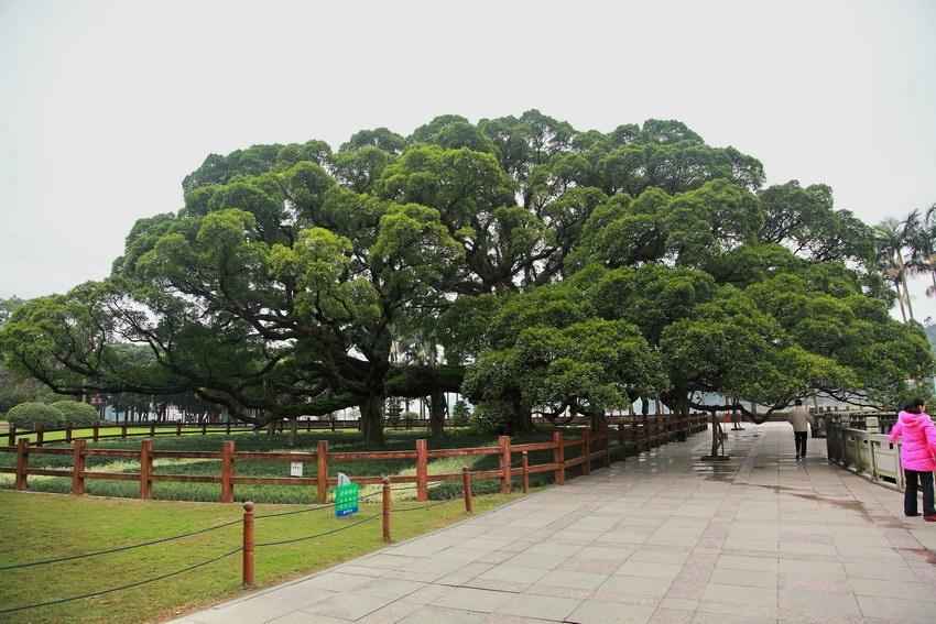 船甲木是什么树