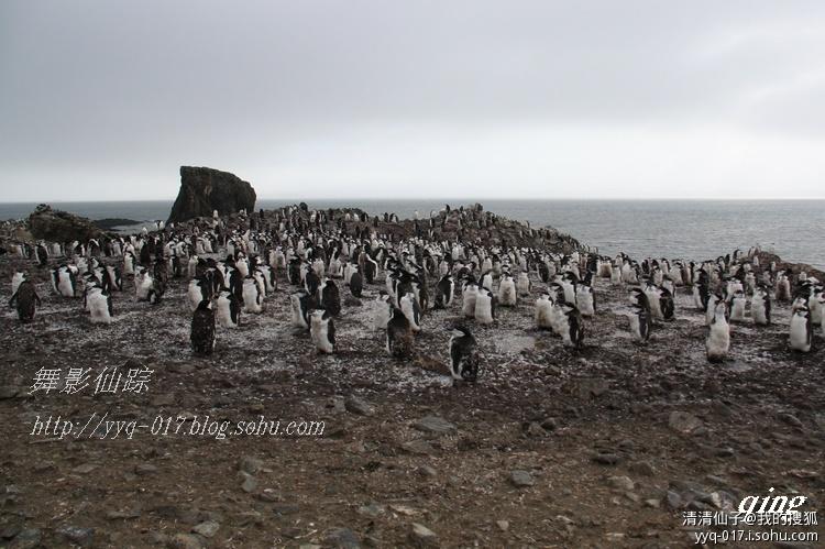你谁呀?  你是我的梦中情人  让我发自肺腑的给你唱首情歌!  天那!太难听了!  咣当!晕过去了!  有两只通心粉企鹅潜伏在帽带企鹅群里睡觉,它们头顶的两簇金黄色羽毛暴露了它们的身份。 浮华企鹅又名马可罗尼企鹅(Macaroni)、通心粉企鹅,为企鹅家族中冠企鹅属的一种,与皇家企鹅亲缘最近,马可罗尼企鹅是世界上数量最多的企鹅,当前共有2400万只。身高45~55厘米,体重4.