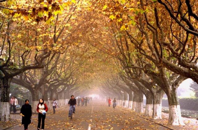 金黄色的秋天,梧桐树的叶子都被染黄了,风姑娘一吹,叶子就掉了