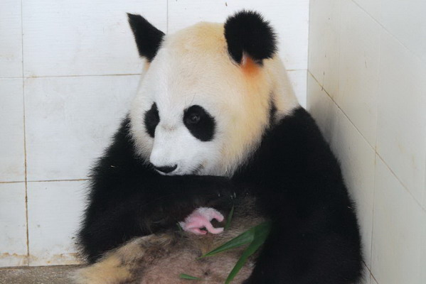 据wwf( 世界野生动物基金会) 熊猫保护项目的工作人员介绍,目前在