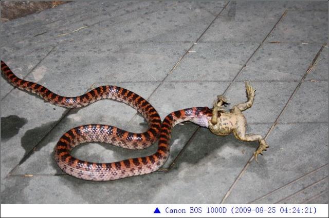 导读:赤练蛇有毒?赤练蛇有没有毒?