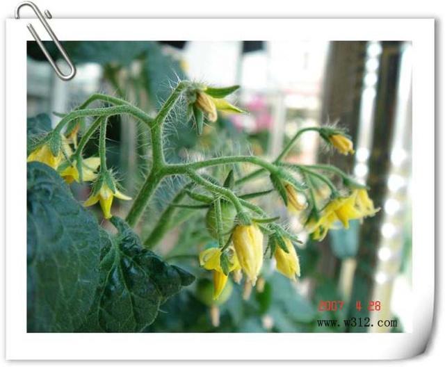 蕃茄生长过程 -交作业 健康宝贝屋
