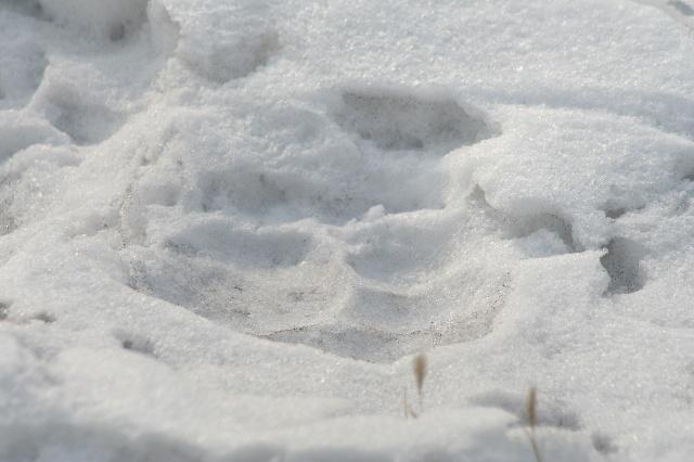 雪地虎脚印,虎照片