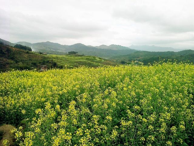 3月,梅州大埔县坪山梯田景区,油菜花.