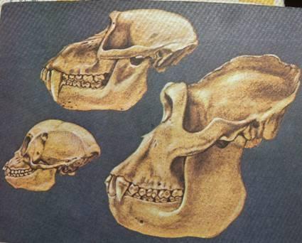 呈四足型运动,树栖生活,具有立体的视觉,牙齿具三个前臼齿,这些体型