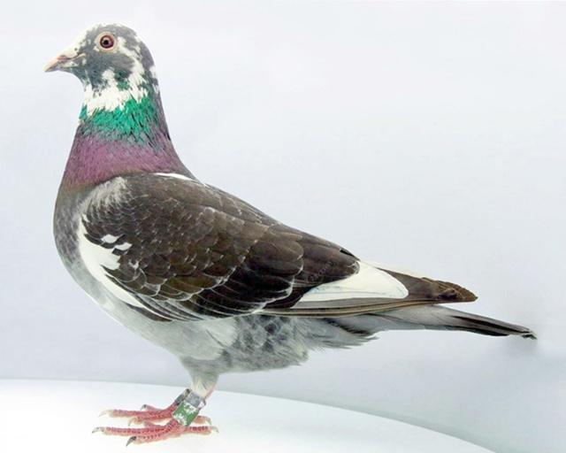 信鸽摄影 魅力鸽眼